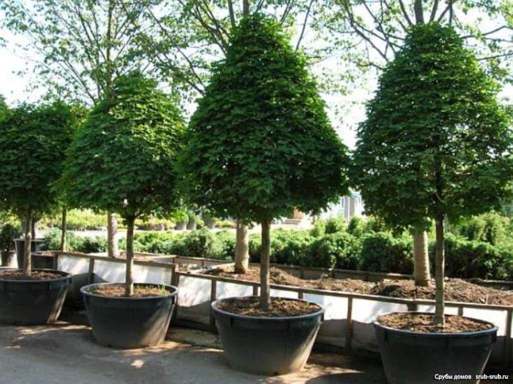Крупномеры - это взрослые деревья, которые используют для выполнения декоративных или...